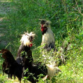 Chickens ?!!?