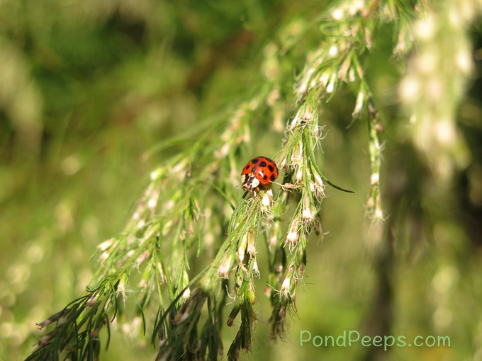 After the Storm - lady bugs are back