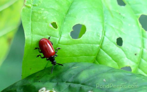 Air Potato Leaf Beetle, Lilioceris cheni