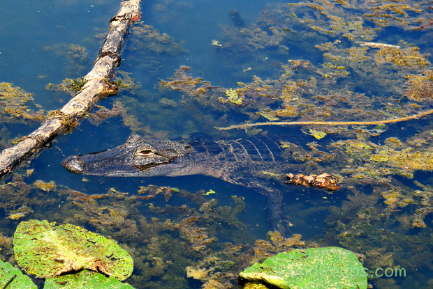 Alligator May in Earl Johnson Park