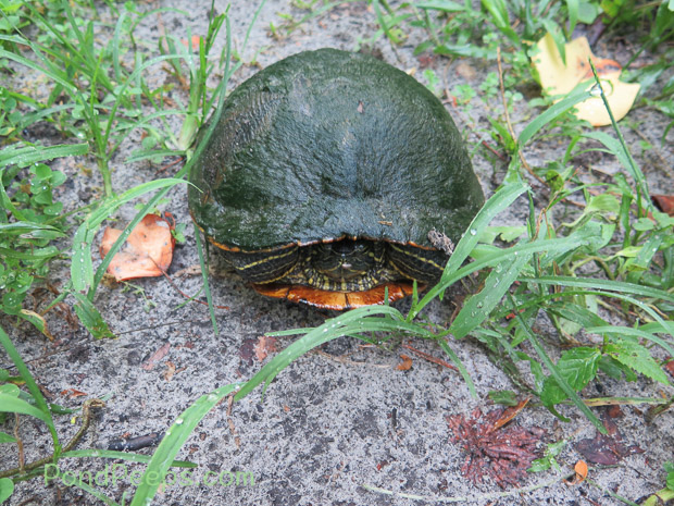 Another turtle on the path - Green!
