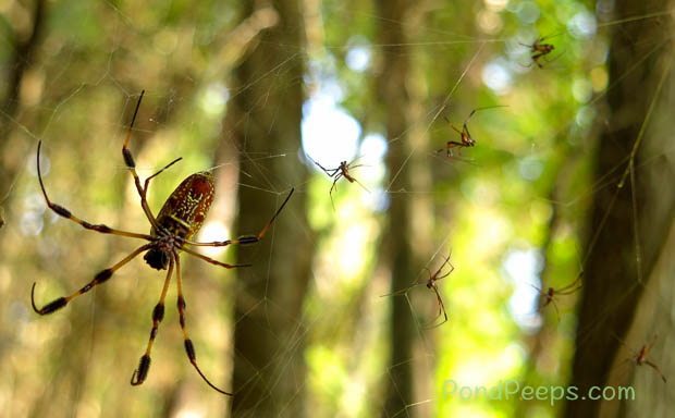 Approaching males - Golden-silk Orbweaver, Nephila clavipes