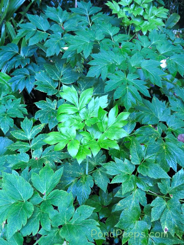Ashitaba plant - Hachijojima
