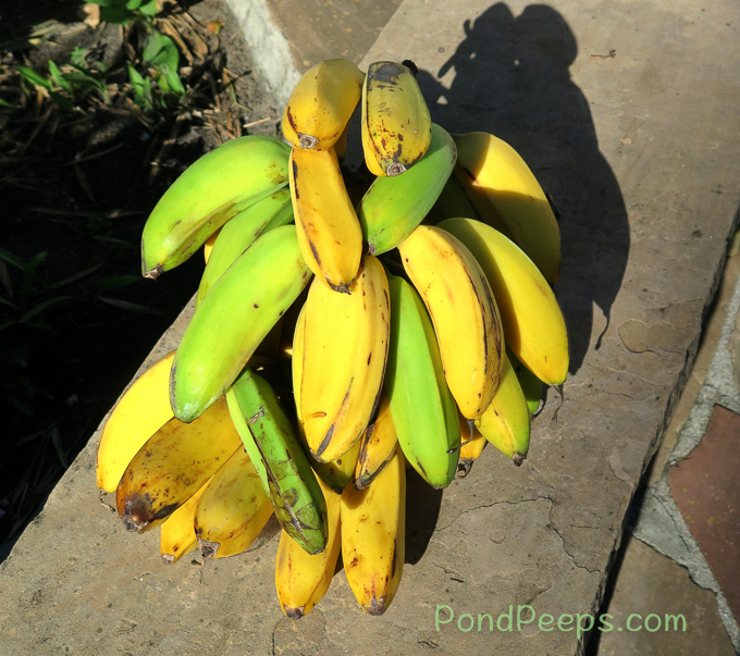 Bananas from Doug's garden - pond peeps yellow
