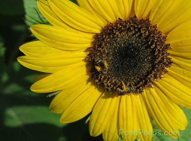 Bees in the sunflowers