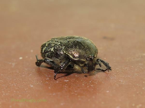 Beetle - PondPeeps.com
