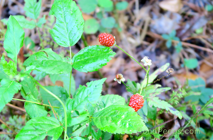 Blackberries are early - Pond Peeps Spring 2017