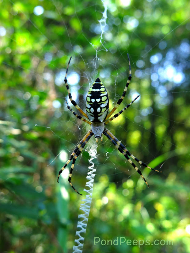 Black and Yellow Garden Spider with stabilimentum