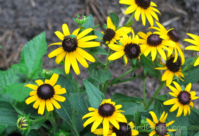 Black-eyed Susans with green sweat bee - pond peeps yellow