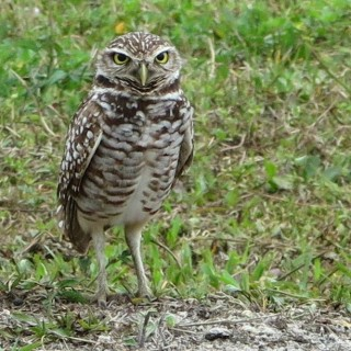 Burrowing owl, Davie, Florida Pondpeeps.com