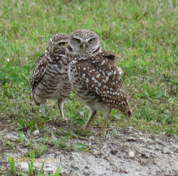 Florida burrowing owls from Vista View Park in Davie, Florida