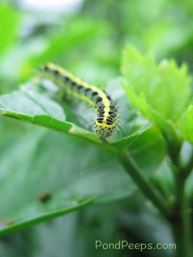 Caterpillar on Hachijojima