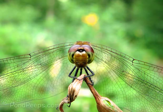 Dragonfly face - Joshinetsu Highland National Park