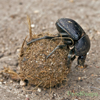 Dung beetles - Rolling a ball of poo