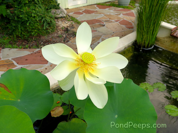 End of Summer - Lotus blossom