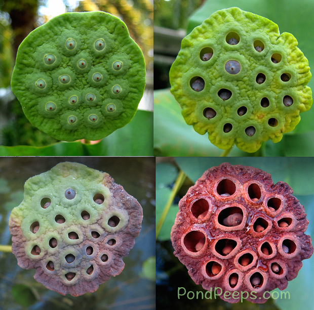 End of Summer - Lotus seed pods