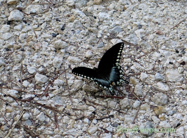 End of Summer - Swallowtail Butterfly at St Augustine Road Fish Management Area