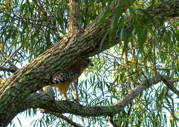 End of Summer - Hawk in tree at St Augustine Road Fish Management Area