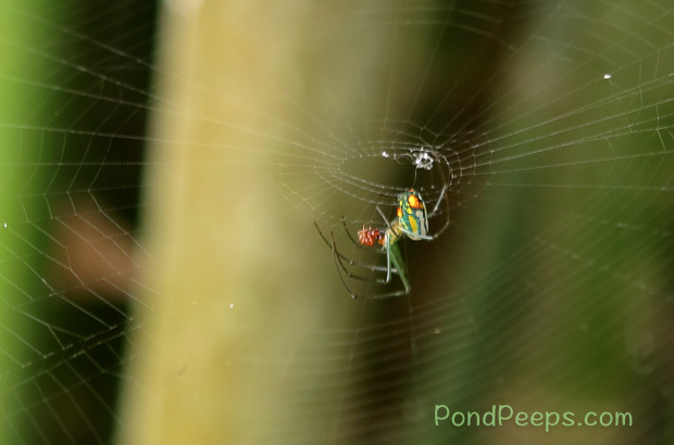 End of Summer - Orchard Spider catches an ant