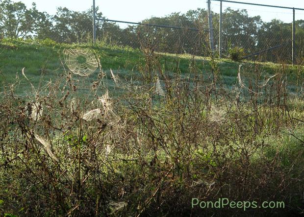 End of Summer - Spider webs at St Augustine Road Fish Management Area