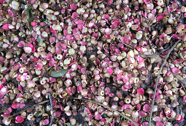 Fallen petals from the Cannonball tree, Couroupita guianensis