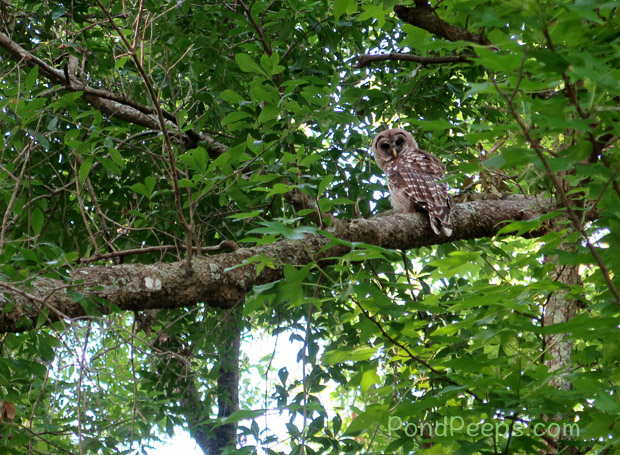 Florida Barred Owl - May in Earl Johnson Park