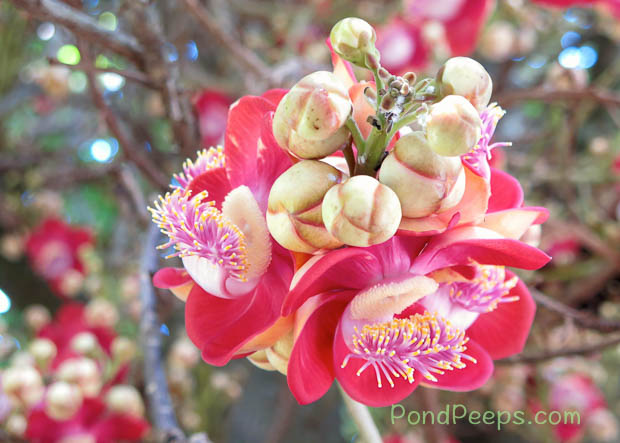 Flowers of the Cannonball tree, Couroupita guianensis