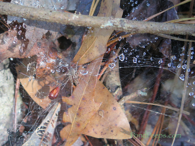 Funnel-building spider from Pond Peeps