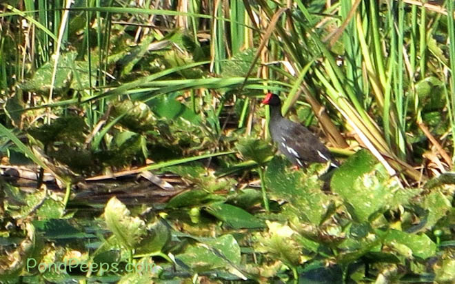 Gallinules are about the only birds around in the summer heat