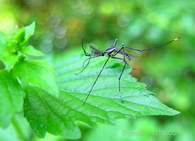 Gallinipper - Giant mosquito