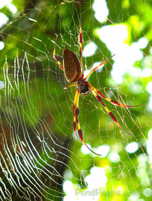 Golden Silk Orbweaver, Nephila clavipes back