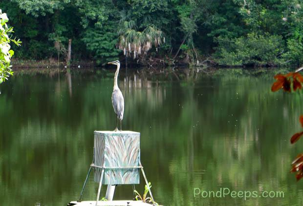 Great Blue Heron sitting on fish feeder