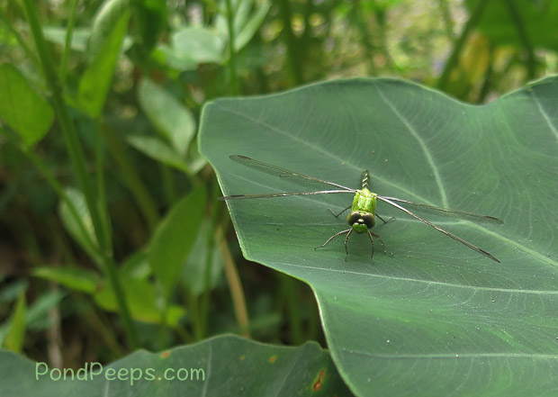 Green dragonfly - Green!