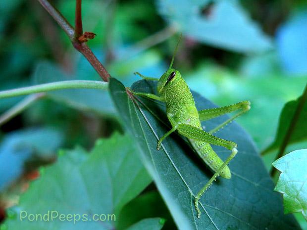 Green grasshopper - Green!