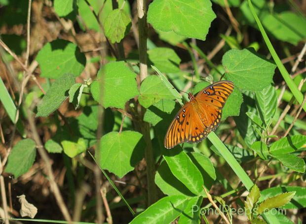 Gulf fritillary butterfly - May in Earl Johnson Park