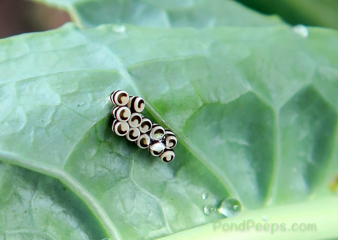Harlequin bug, Murgantia histrionica, eggs