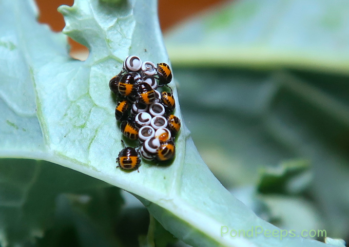 Harlequin bug, Murgantia histrionica, newly hatched