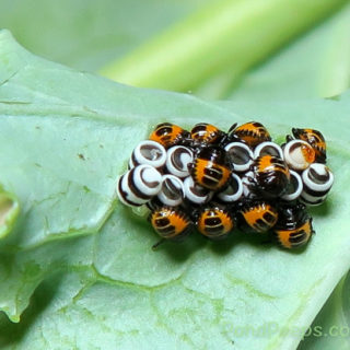 Garden Gone: Harlequin Bugs Have Arrived