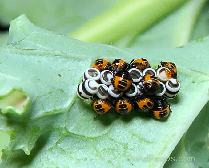 Harlequin bug, Murgantia histrionica, nymphs on the kale