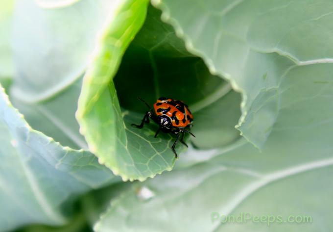 Harlequin bug, Murgantia histrionica