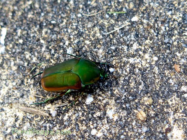 June bug - Green!