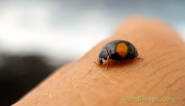 Lady bug on Hachijojima
