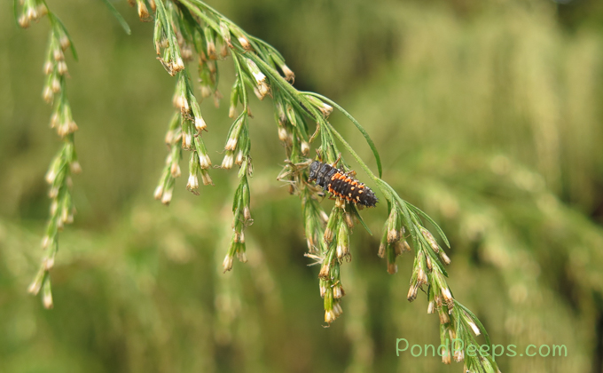 Pond Peeps - ladybug larva in Earl Johnson Park