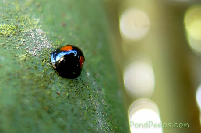 Ladybug on the bamboo