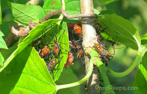 Leaf Footed bug nymphs at St Augustine Road Fish Management Area