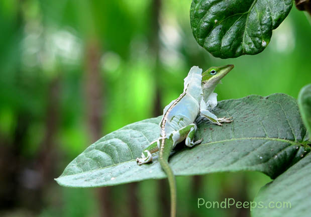 Shedding lizard's looks like it's wearing a hoodie