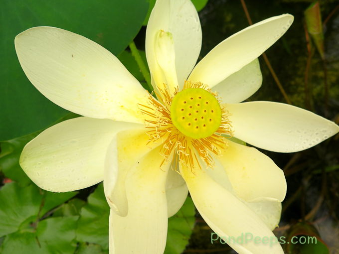 Lotus blossom - pond peeps yellow