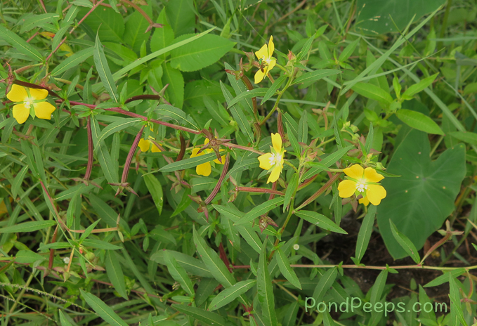 Ludwigia octovalis - pond peeps yellow