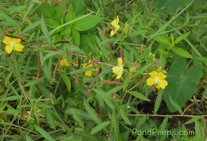 Ludwigia octovalis - pond peeps yellow