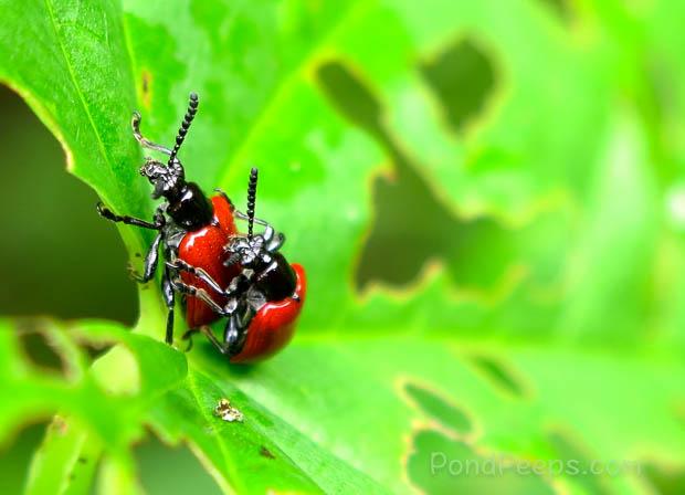 Mating Air Potato Leaf Beetles